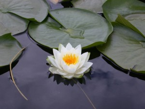 white-lotus-flower-wallpaper